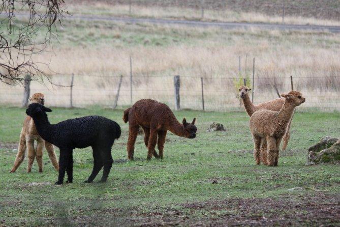 Alpacas in paddock