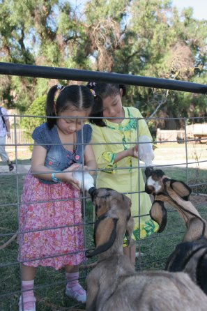 Bottle feeding goats