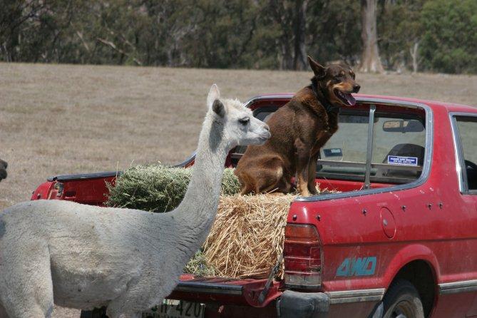 Farm dog with alpaca