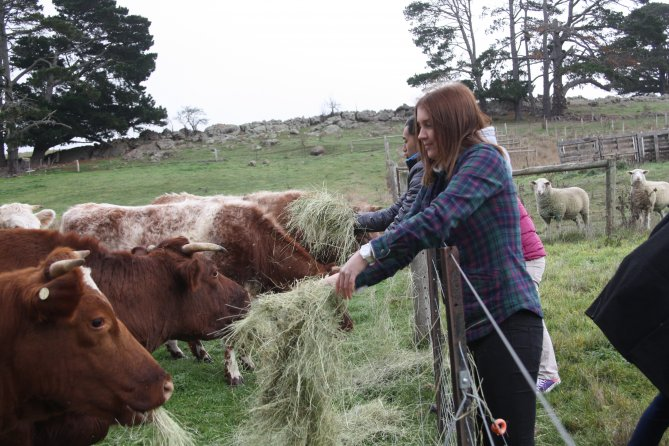 Feeding cattle over fence