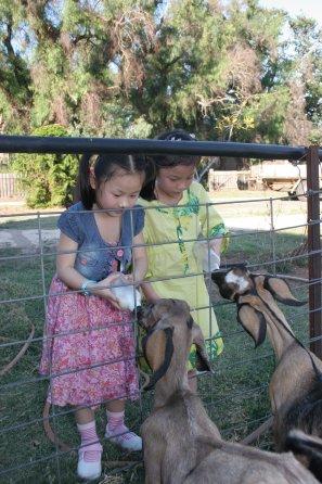 Feeding goats milk