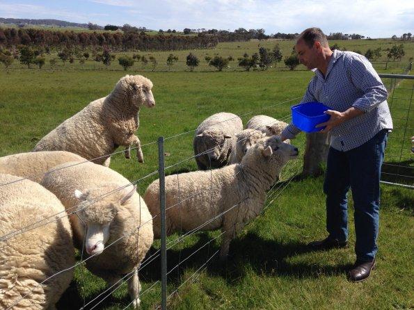 Feeding sheep through fence 2