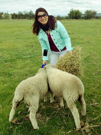 Hand feeding sheep