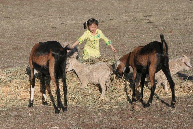 Hay feeding goats