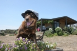 Farm dog with hat on