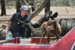 Feeding cattle with dog in truck